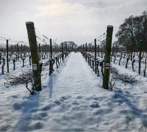 How does snow affect the vines?