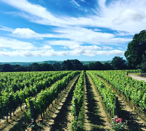 How are Ridgeview grape vines coping in the hot British Summer?